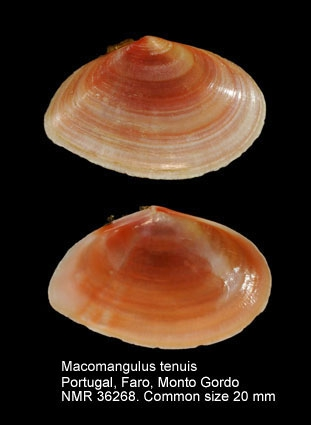 Macomangulus tenuis