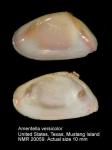 Ameritella versicolor