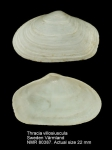 Thracia gracilis