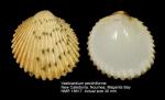 Vasticardium pectiniforme