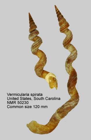 Vermicularia spirata