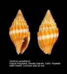 Vexillum (Pusia) aureolatum
