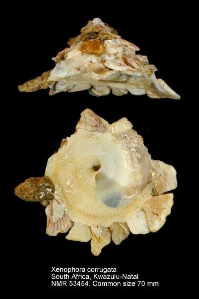 Xenophora (Xenophora) corrugata