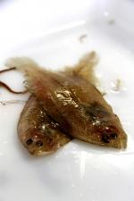 Scaldfish - Arnoglossus laterna
