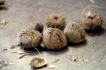 Echinocardium cordatum & Psammechinus miliaris
