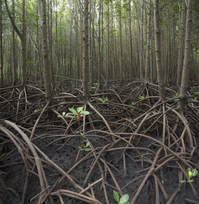 Mangrove reforestation