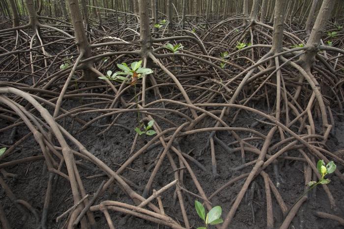 Mangrove reforestation