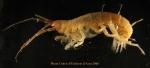 Corophiidea n det large sp ANTXXIII-8 St-654-3 Elephant Island