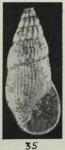 Rissoina heterolira Laws, 1941