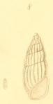 Schwartziella bryerea (Montagu, 1803)