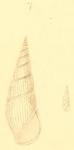 Zebinella decussata (Montagu, 1803)
