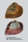 Cucullaea granulosa