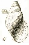 Rissoina (Diastictus) punctatissima Tate, 1899