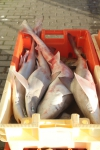 (gevlekte) gladde haai - Mustelus asterias en Mustelus mustelus
