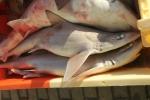 Gevlekte gladde haai - Mustelus asterias