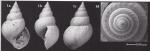 Microstelma lapernai Landau, Marquet & Grigis, 2004