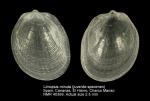 Limopsis minuta (juvenile)