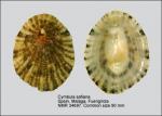 Cymbula safiana