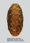 Acanthochitona hemphilli