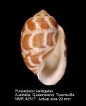 Punctacteon variegatus