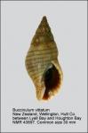Buccinulum vittatum