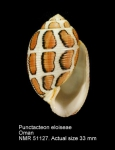 Acteonidae