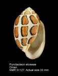 Punctacteon eloiseae