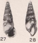 Rissoina (Leaella) altenai Beets, 1942