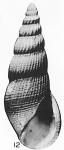 Rissoina alarconi  Hertlein & Strong, 1951