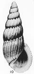 Rissoina (Folinia) ericana Hertlein & Strong, 1951