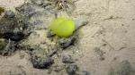Biremis blandi live  (2014 by Nautilus live / Ocean Exploration Trust)