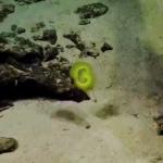 Biremis blandi live (2014, Nautilus live / Ocean Exploration Trust)