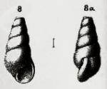 Rissoina volaterrana De Stefani, 1875