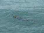 Grijze zeehond - Halichoerus grypus