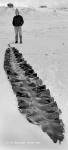 Himantothallus grandifolius