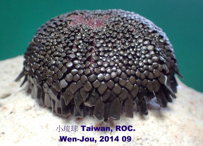 Colobocentrotus (Colobocentrotus) mertensii
