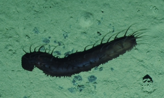 unknown laetmogonid holothurian from the Clarion-Clipperton Fracture Zone