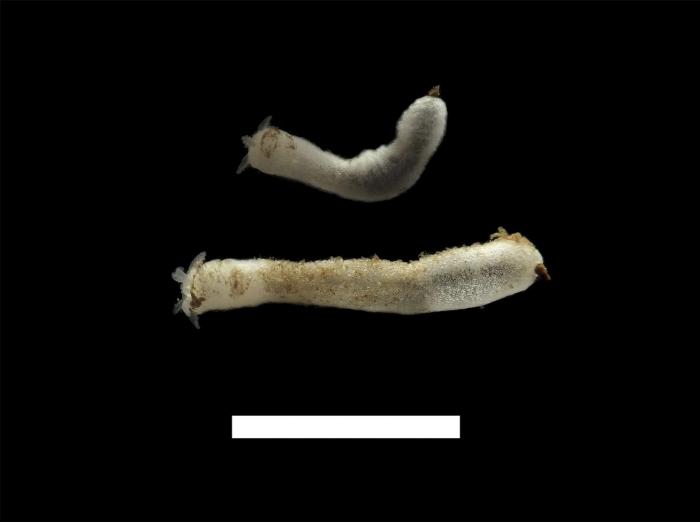 Trochoderma elegans, scale 1 cm