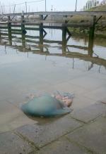 Barrel jellyfish - Rhizostoma pulmo
