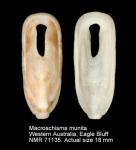 Macroschisma munitum