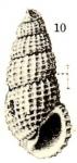 Rissoina media awana Yokoyama, 1924
