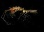 Antarcturidae sp