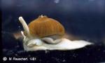 Symbiosis between gastropod and actinia