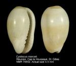 Cystiscus manceli
