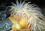 Anthozoa (sea anemones)