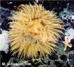 Urticinopsis antarctica