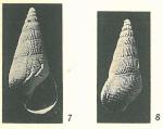 Rissoina (Zebinella) azaniensis Cox, 1927