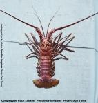 Panulirus longipes