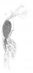 Timm 1894 Monstilla grandis