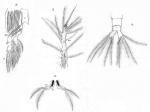 Timm 1894 Monstilla helgolandica details